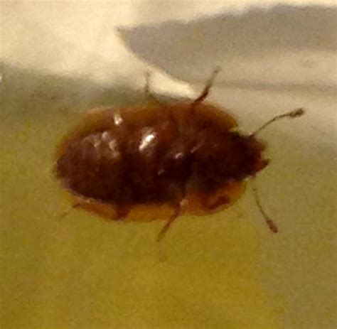 Do Bed Bugs Have Antennas Picnic Beetle What S That Bug