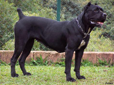 corso puppy corso dogs