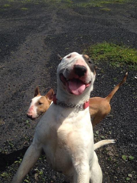bull terrier puppies rescue rescue bull terriers ready for adoption livingston west lothian pets4homes