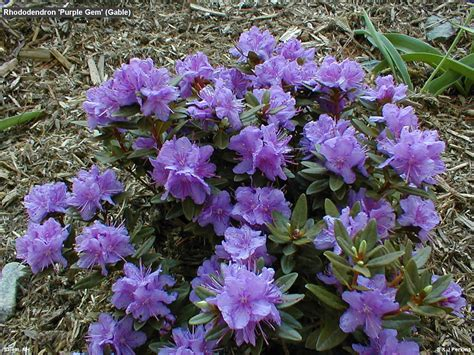 miniature shrubs that flower rhododendron purple gem gable habit tour of perkins