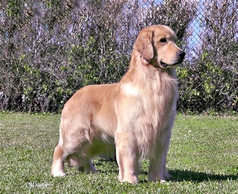 tangleloft golden retrievers tangleloft goldens ch tangleloft of the buzz golden retriever stud