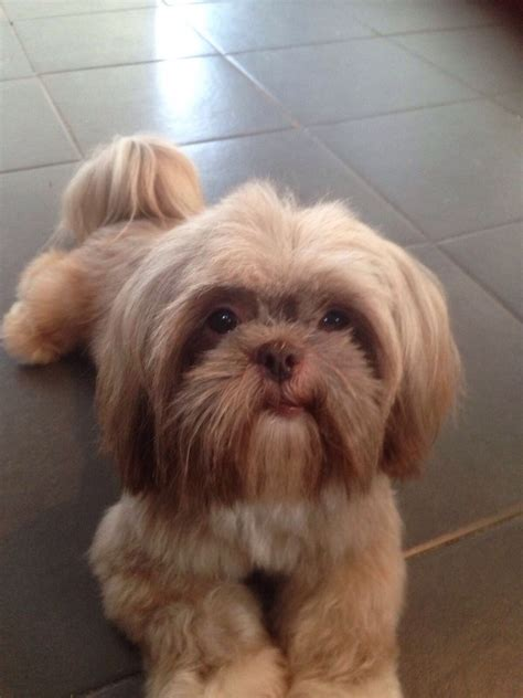 shih tzu hull kc registed shih tzu hull east of pets4homes