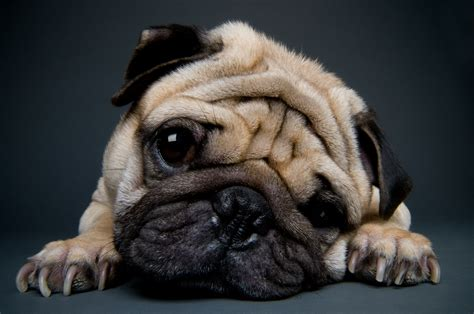 why do pugs so much 16 gifs that show why pugs are much better than metro news