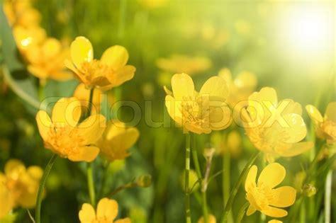 gelbe blumen im rasen kleine gelbe blumen stock foto colourbox