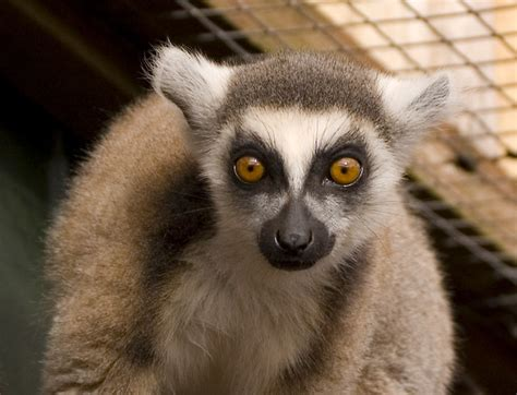 ring tailed lemer   south lakes animal park andy