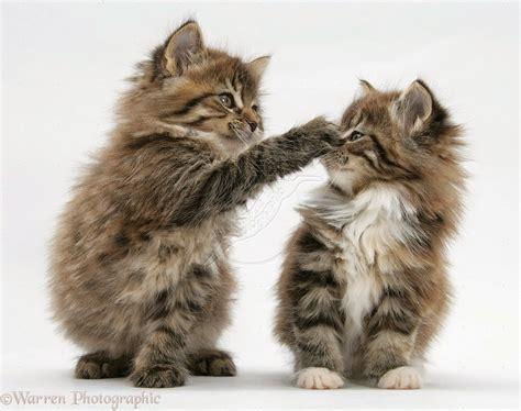 Kitten Mainecoon 150 gambar kucing lucu dan imut anggora maine