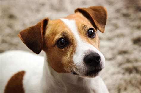 jack russell terrier imagenes disturbi del sistema nervoso nel cane