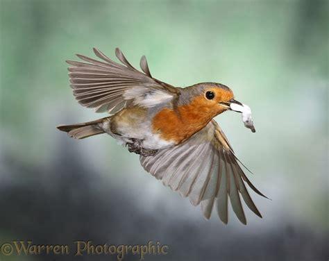 european robin in flight photo wp20569
