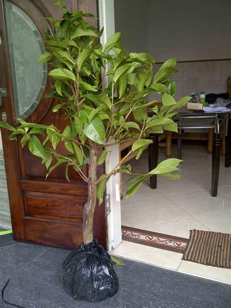 Harga Bibit Pohon Jambu Bol jual bibit jambu 0878 55000 800 jual bibit tanaman