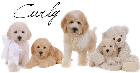 goldendoodle puppy coat types hair goldendoodle puppies om hair