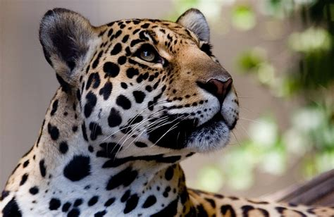 ver imagenes jaguar animal big cats jaguars glance snout animals jaguar wallpaper