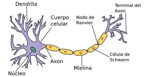 imagenes de neuronas sensoriales neurona wikipedia la enciclopedia libre