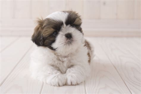 average weight for maltese shih tzu difference between maltese and shih tzu