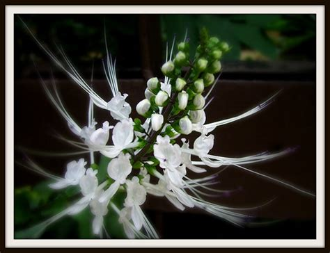 tanaman hias kumis kucing kwek linas imagination
