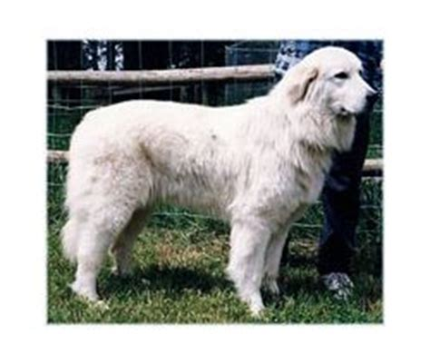 types of sheep dogs maremma sheepdog breed information pictures pastore abruzzese italian alpine