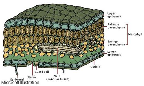 Plant Leaf Cross Section by Leaves