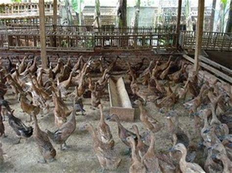 duck farming livestock raising laying ducks