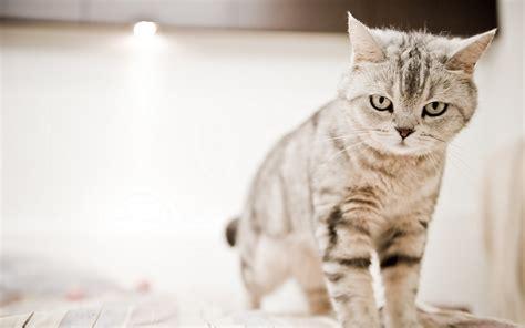 cat eaten wallpaper paste angry cat free desktop wallpaper wallpapersafari