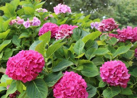 hydrangeas   plant grow  prune hydrangea shrubs
