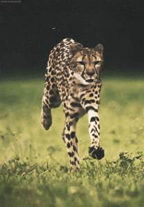 Tiger Cheetah Leopard Jaguar Panther Gif Mine Animal What Tiger Leopard Wait Cheetah