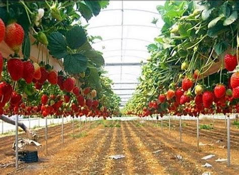 Tips Hidroponik Alat Hidroponik cara menanam strawberry hidroponik bibitbunga