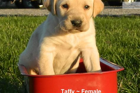 pointer puppies for sale near me taffy pointer puppy for sale near lancaster pennsylvania 89b25f02 ce01