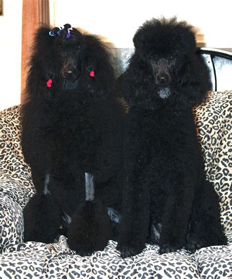 standard poodle puppies california standard poodles standard poodle puppies breeder california