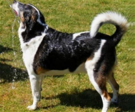 breeds that start with l breeds starting with the letter l labrador retriever lhasa breeds picture