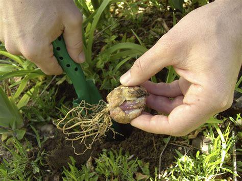 blumenzwiebeln pflanzen blumenzwiebeln pflanzen worauf es ankommt