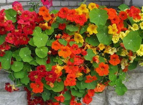 coltivazione in vaso nasturzio come curare e coltivare i nasturzi in vaso e in