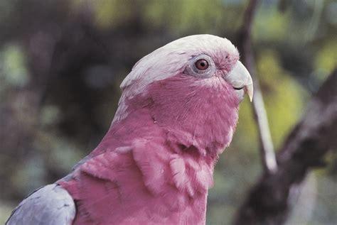 rose breasted galah cockatoo species profile