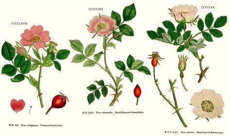 r fruticosus angiosperm families rosaceae l
