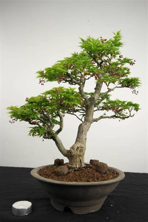 bonsai with japanese maples 0881928097 503 best images about bonsai trees on prunus bonsai trees and japanese maple bonsai