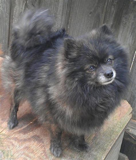 brindle pomeranian pomeranian breed 187 information pictures more