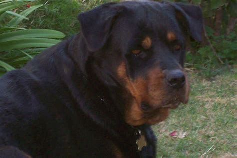 rottweiler stories rottweiler news stories pictures products rottweilers home