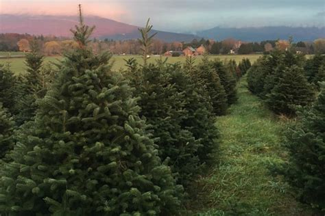 vermont christmas tree farms the four chimneys inn