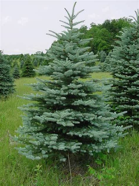 colorado blue spruce trees buy online at nature hills blue spruce trees newhairstylesformen2014 com