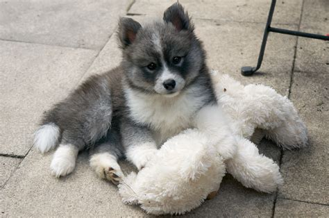 pomskies puppies pomsky puppy worlds third cutest dogs