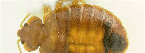 bed bugs solution bed bug services information bed bugs control in poughkeepsie rhinebeck kingston