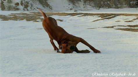 Do Rhodesian Ridgebacks Shed by Rhodesian Ridgeback Breed Health These Dogs Tend To