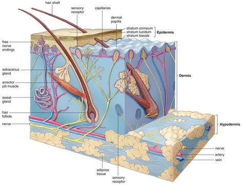 male pattern baldness quizlet 17 best images about integumentary on pinterest open