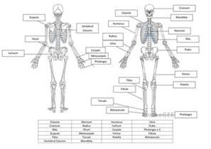 skeletal system worksheet and answers by hayleyanne20