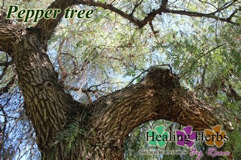 Black Pepper Tree Picture