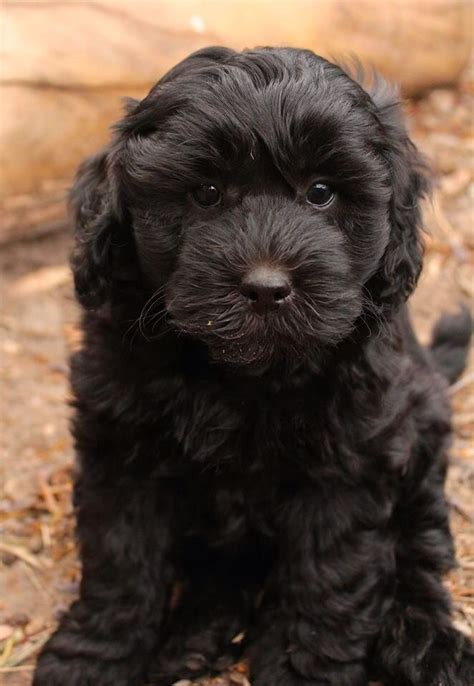 how much is a pug puppy in australia black labradoodle puppy black labradoodles labradoodles puppies future