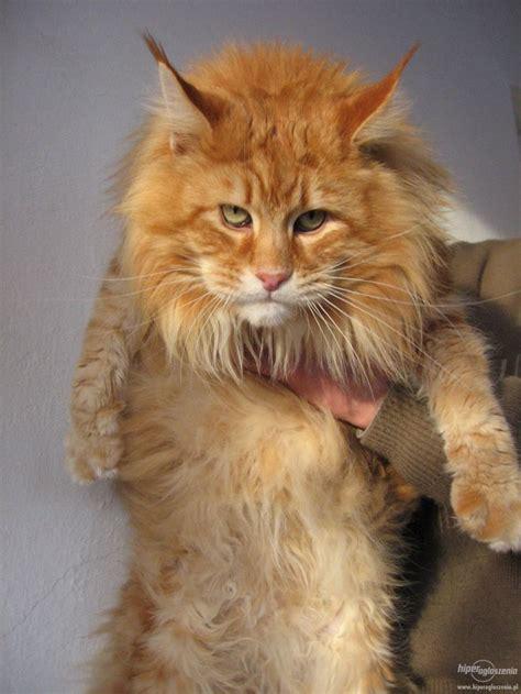Maine Coon Kittens Wallpaper Free Cat Breeds Wallpaper Cat
