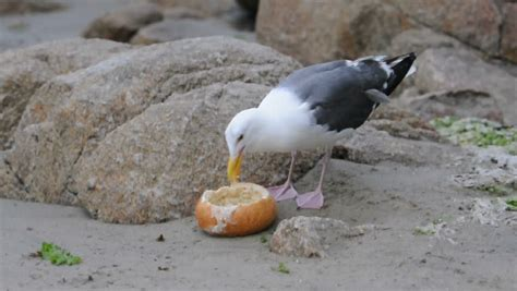 a seagull eats a bread bowl stock footage video 495004