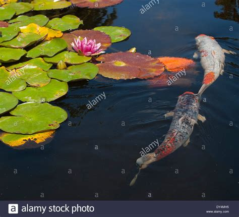 koi fish lotus a pond with a lotus flower blooming while two koi
