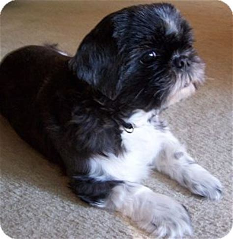 shih tzu jacksonville fl pet not found