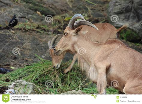 heat l for goats brown mountain goat grass stock image image 21520603