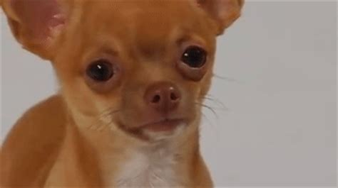 chihuahua crying dog tears gif find share on giphy